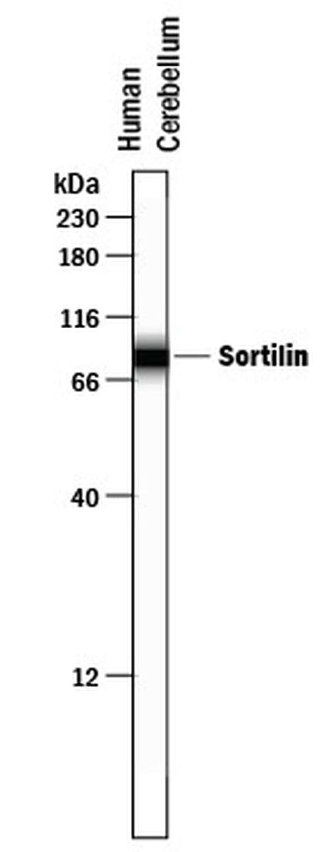 Sortilin Antibody in Western Blot (WB)