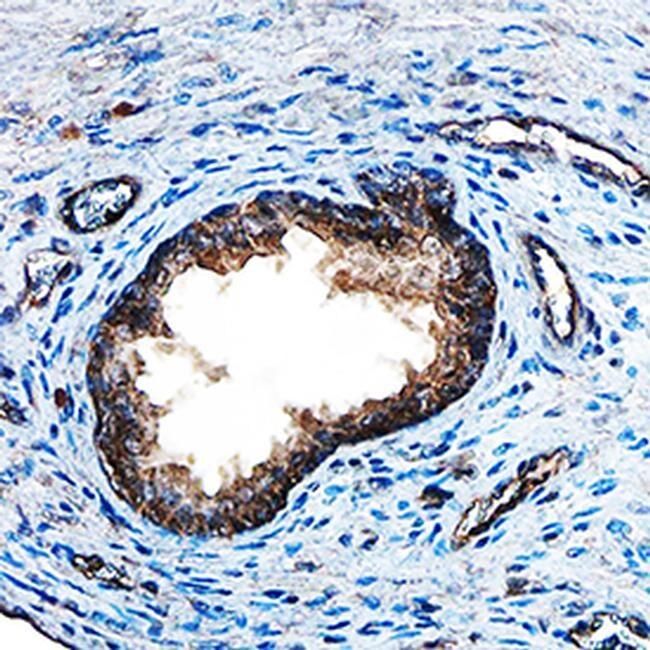 FGF8 Antibody in Immunohistochemistry (Paraffin) (IHC (P))
