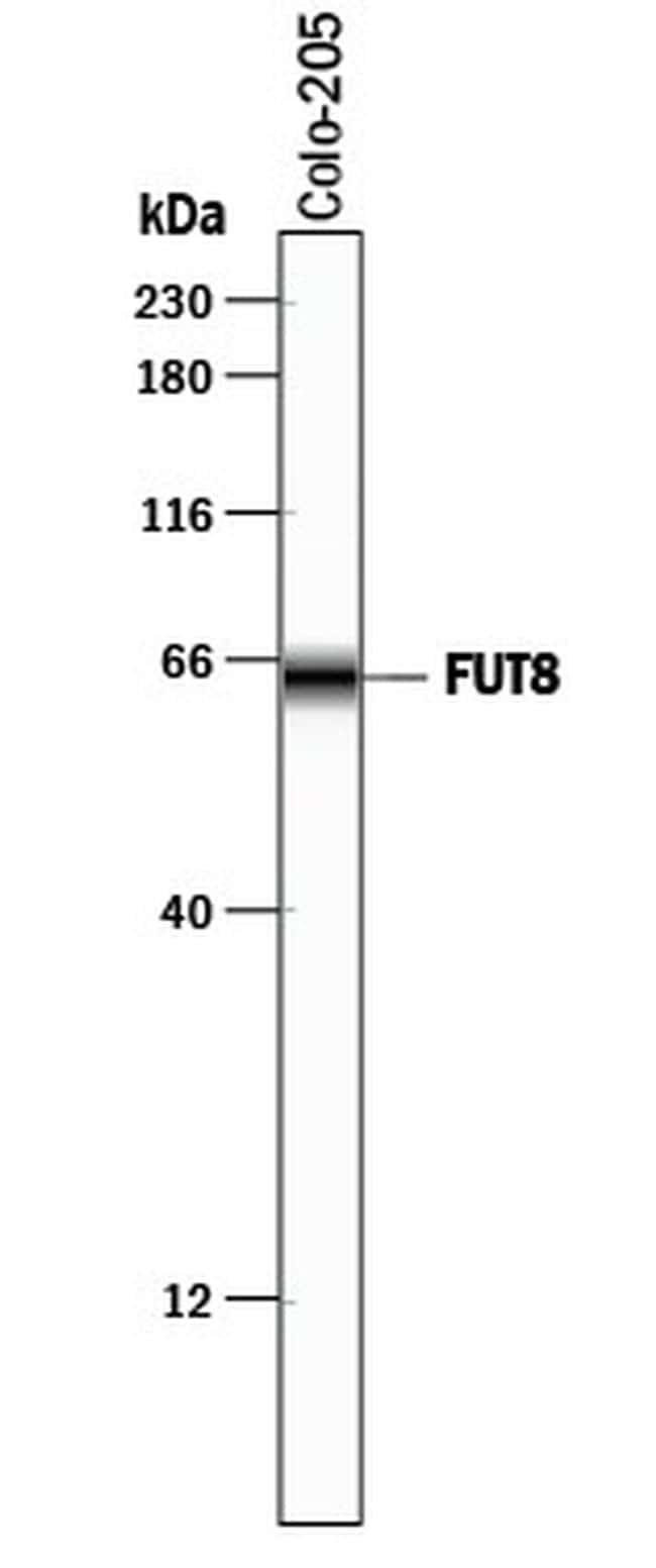 FUT8 Antibody in Western Blot (WB)