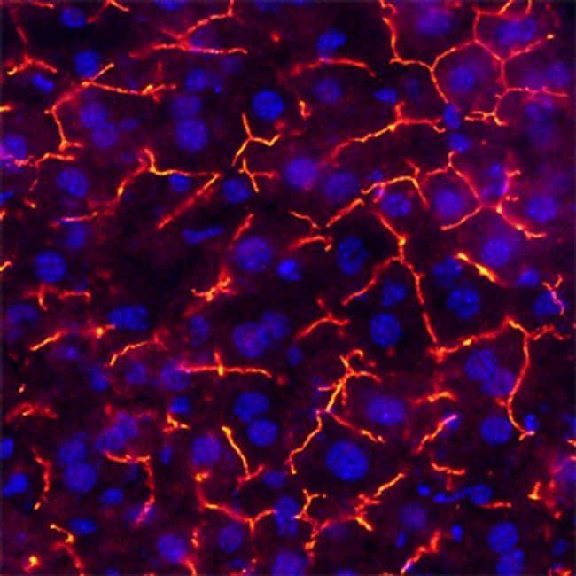 CEACAM1 Antibody in Immunohistochemistry (Frozen) (IHC (F))