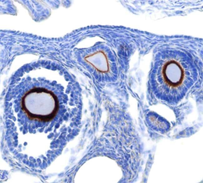 Lypd3 Antibody in Immunohistochemistry (Frozen) (IHC (F))