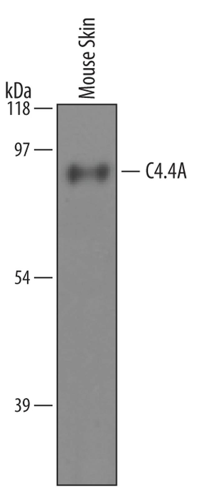 Lypd3 Antibody in Western Blot (WB)