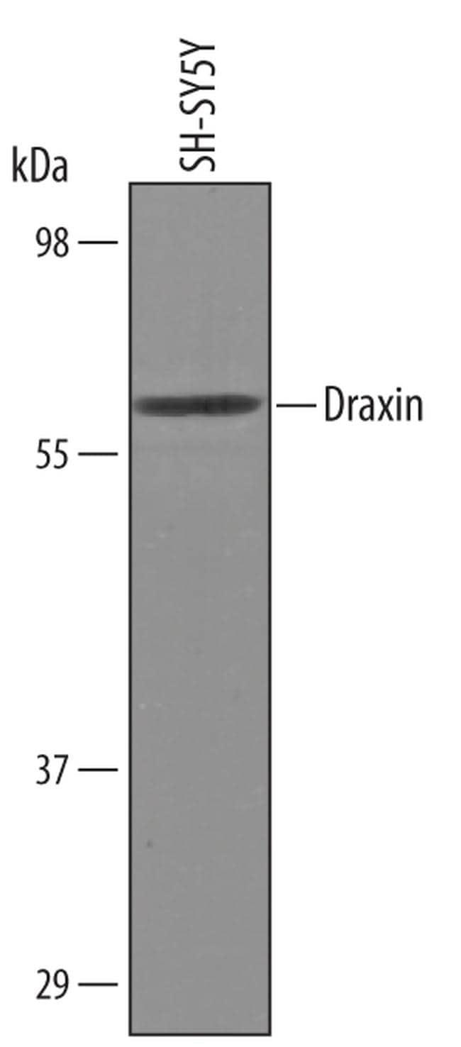 Draxin Antibody in Western Blot (WB)