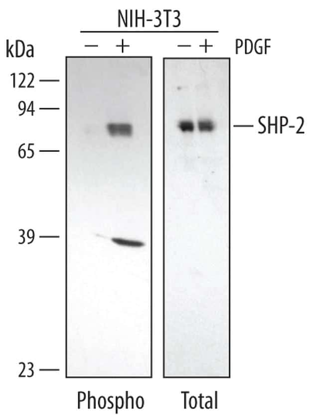 Phospho-SHP2 (Tyr542) Antibody in Cell Treatment