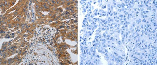 SPAG4 Antibody in Immunohistochemistry (Paraffin) (IHC (P))