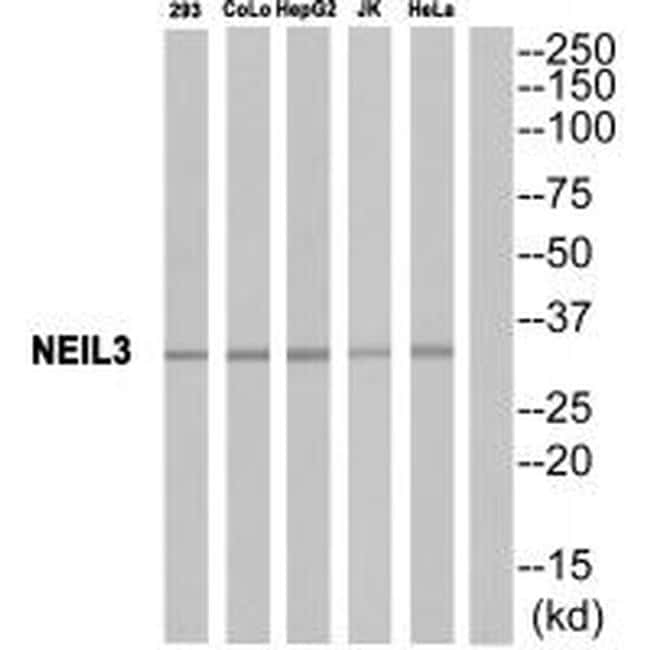 NEIL3 Antibody in Western Blot (WB)