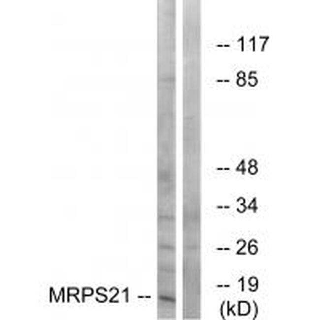 MRPS21 Antibody in Western Blot (WB)