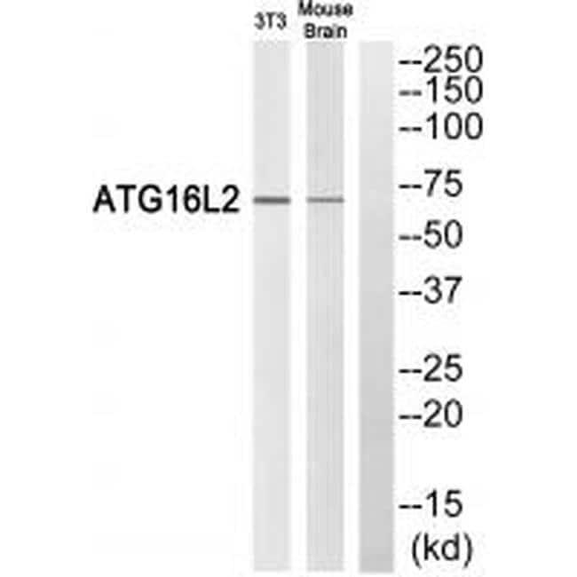 ATG16L2 Antibody in Western Blot (WB)