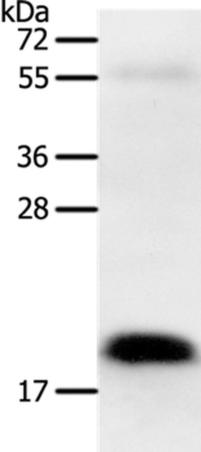 Pleiotrophin Antibody in Western Blot (WB)