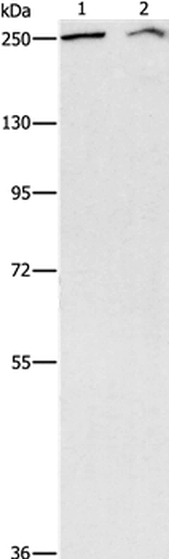 ARID1A Antibody in Western Blot (WB)