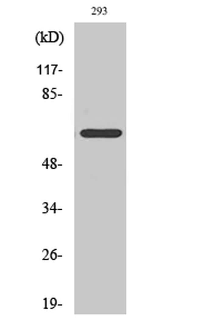 ARMX2 Antibody in Western Blot (WB)