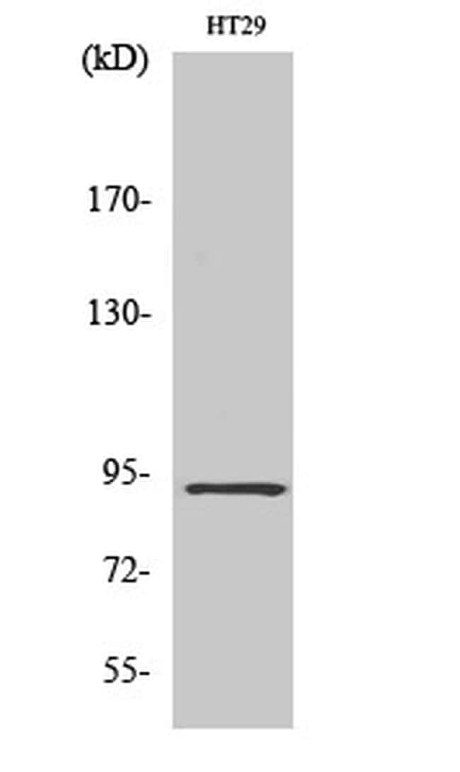 CAGE1 Antibody in Western Blot (WB)
