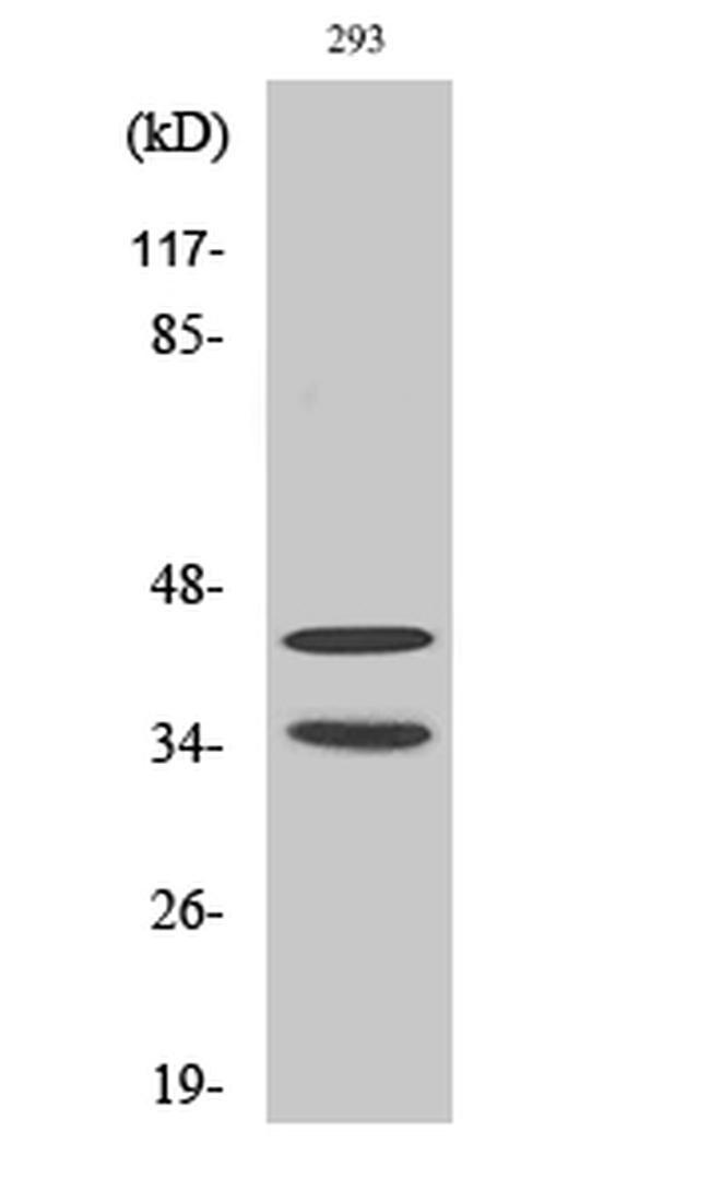 CDK10 Antibody in Western Blot (WB)