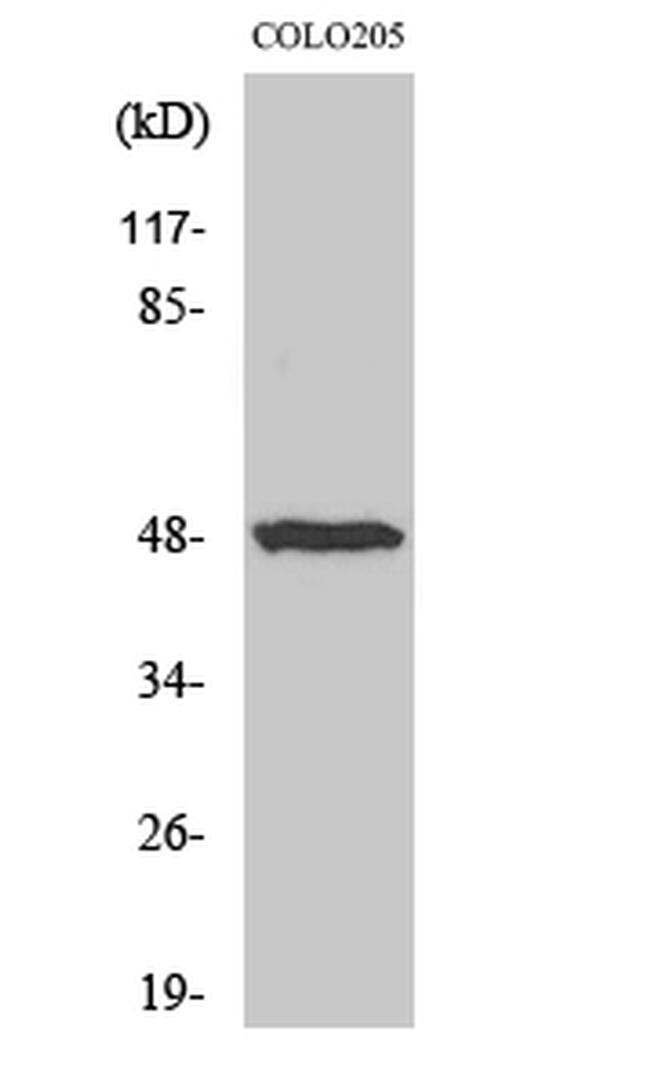 IL13RA1 Antibody in Western Blot (WB)