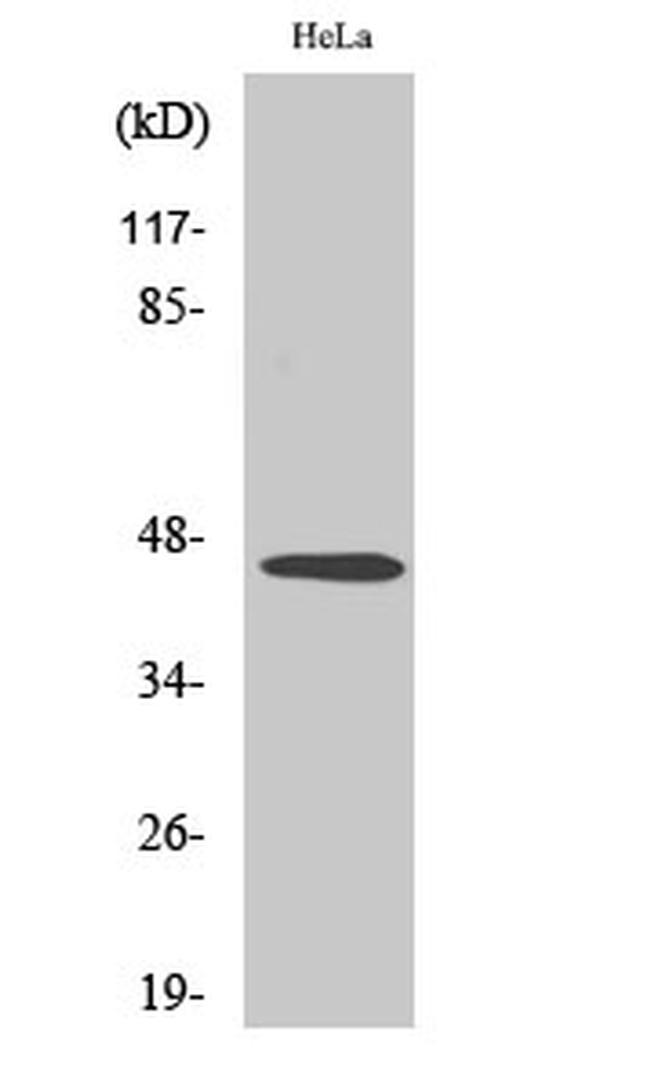 INHBB Antibody in Western Blot (WB)
