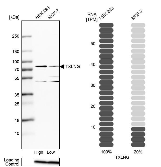 TXLNG Antibody in Relative expression