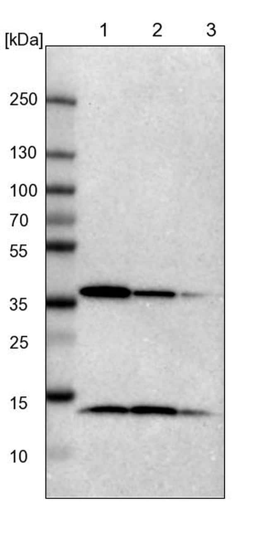 NSDHL Antibody in Western Blot (WB)