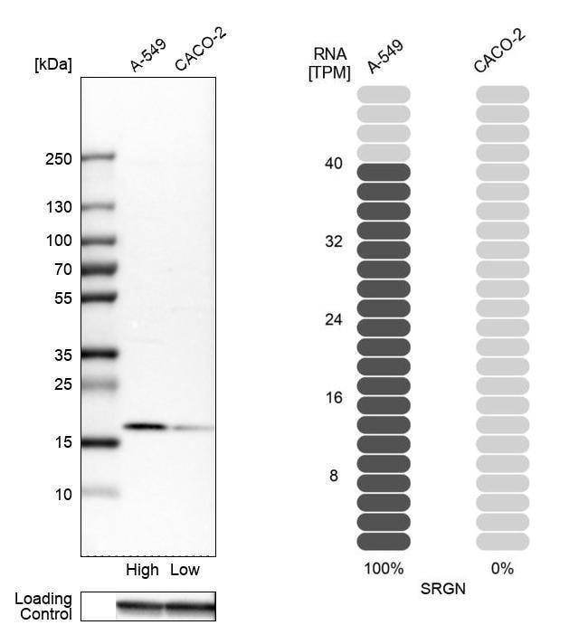 Serglycin Antibody in Relative expression