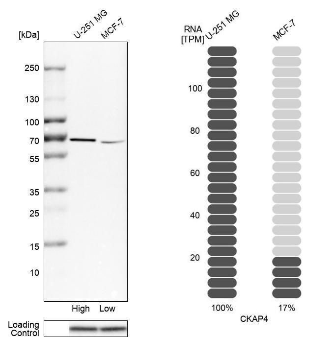 CKAP4 Antibody in Relative expression