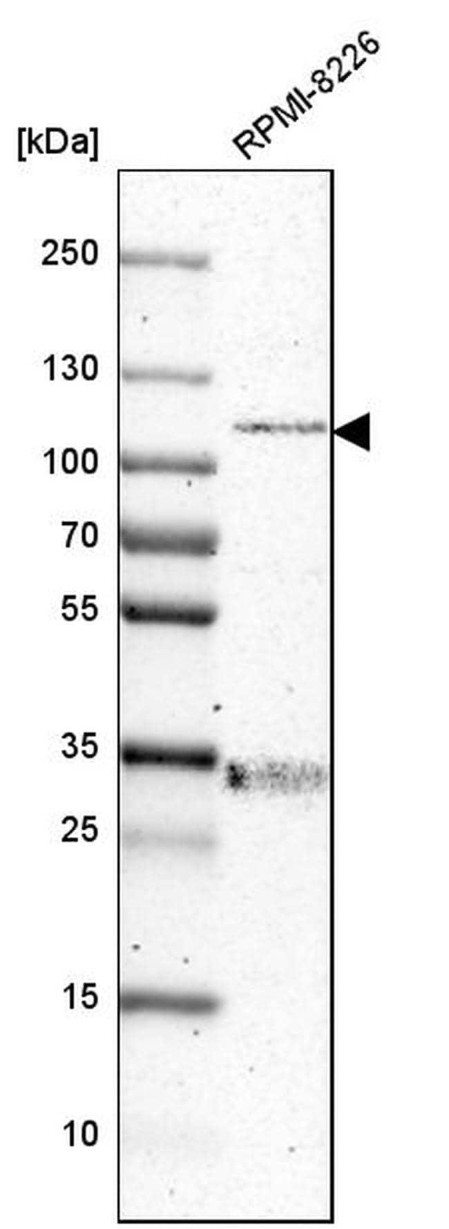 RhoGAP4 Antibody in Western Blot (WB)