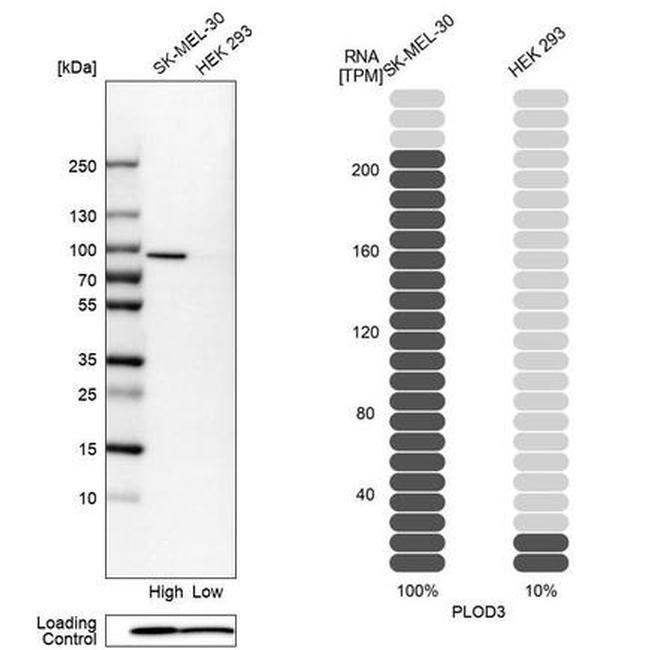 PLOD3 Antibody in Relative expression
