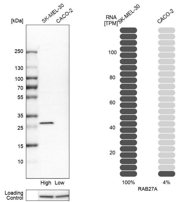 RAB27A Antibody in Western Blot (WB)