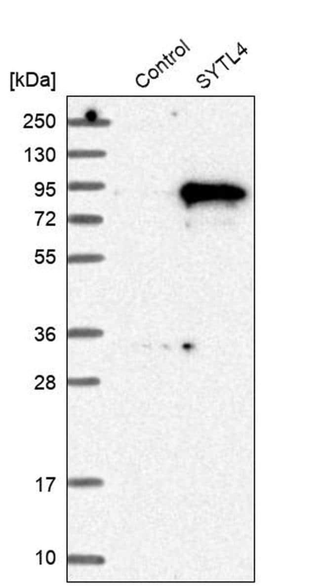 SYTL4 Antibody in Western Blot (WB)