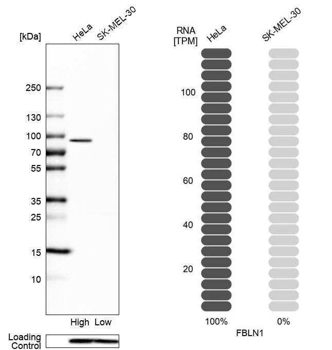 Fibulin 1 Antibody in Relative expression