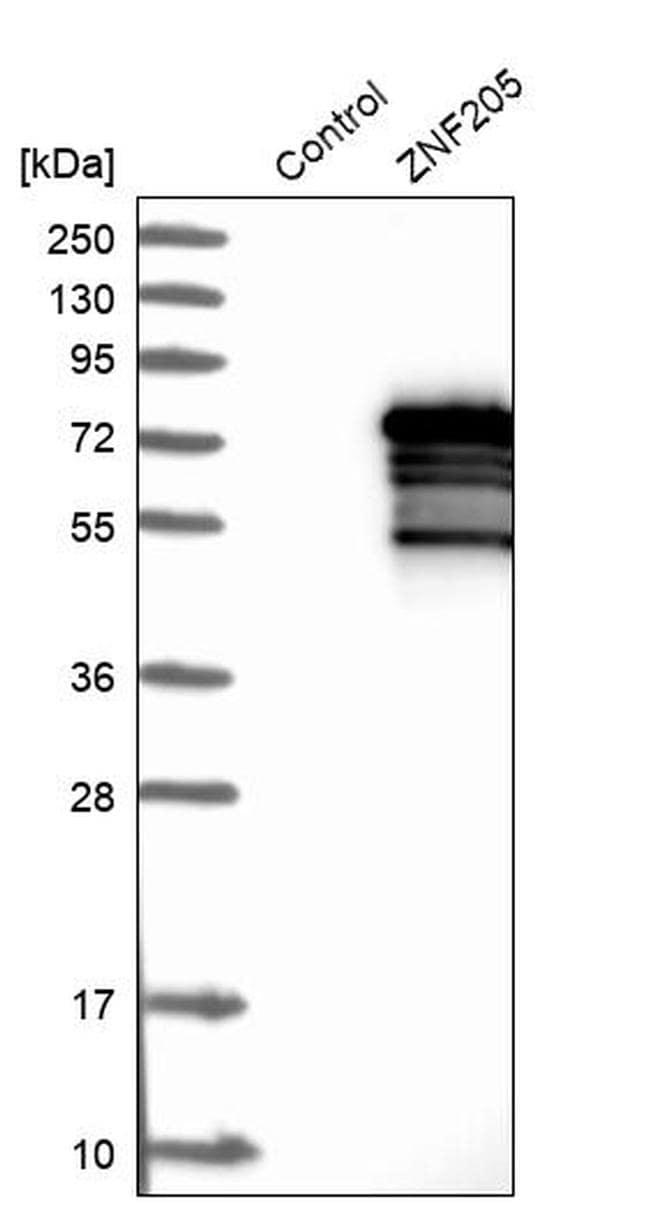 ZNF205 Antibody in Western Blot (WB)