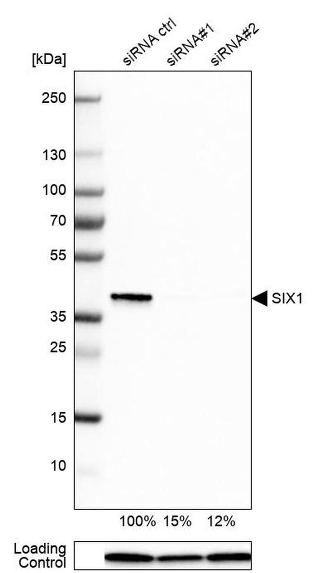 SIX1 Antibody in Western Blot (WB)