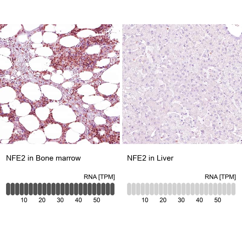 NFE2 Antibody in Relative expression