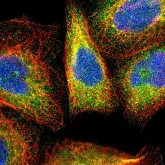 ERLIN2 Antibody in Immunofluorescence (IF)