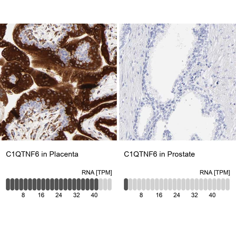 CTRP6 Antibody in Relative expression