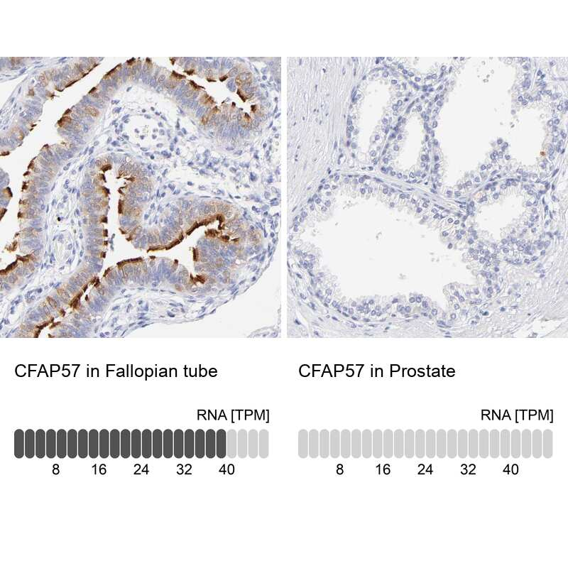 WDR65 Antibody in Immunohistochemistry (IHC)