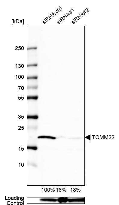 TOMM22 Antibody in Knockdown