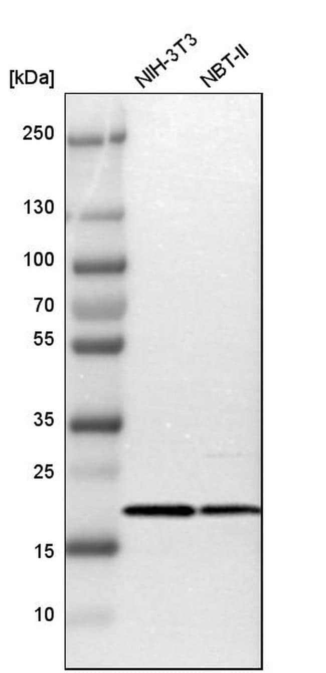 TOMM22 Antibody in Western Blot (WB)