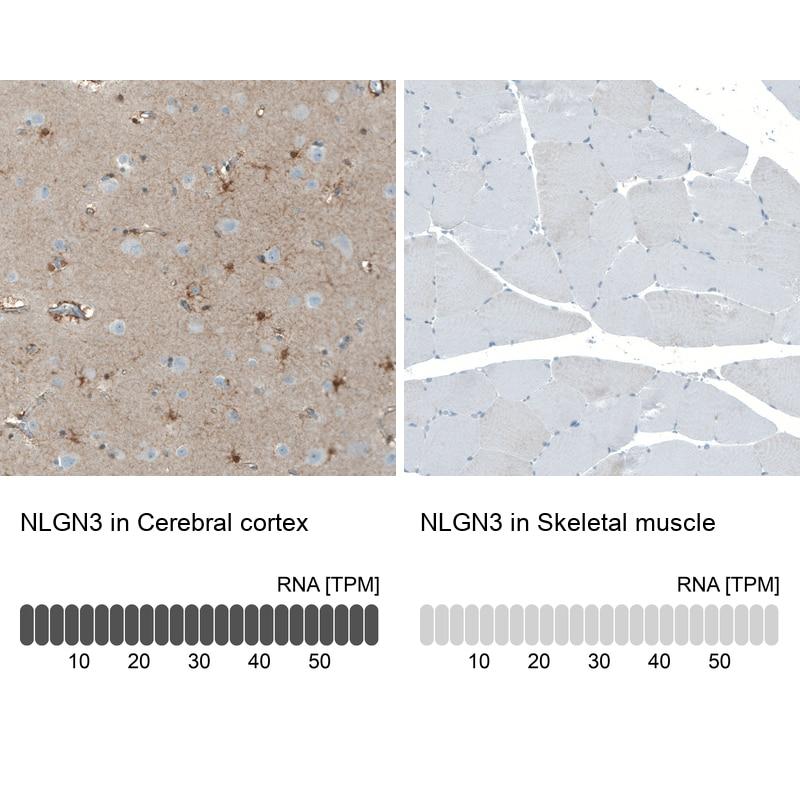 NLGN3 Antibody in Immunohistochemistry (IHC)