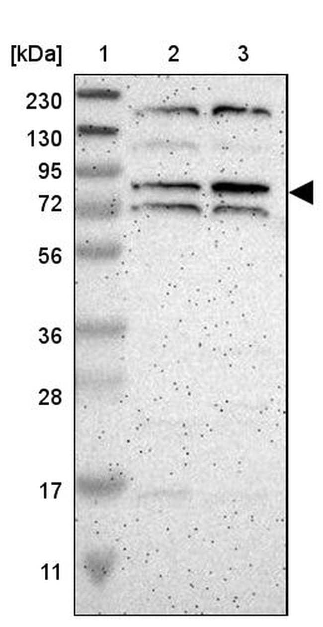 ZNF90 Antibody in Western Blot (WB)
