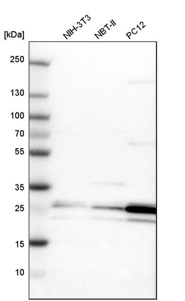 PCMT1 Antibody in Western Blot (WB)