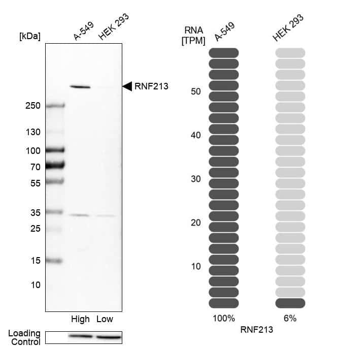 RNF213 Antibody in Relative expression