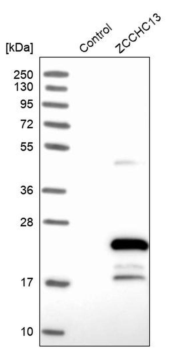 ZCCHC13 Antibody in Western Blot (WB)