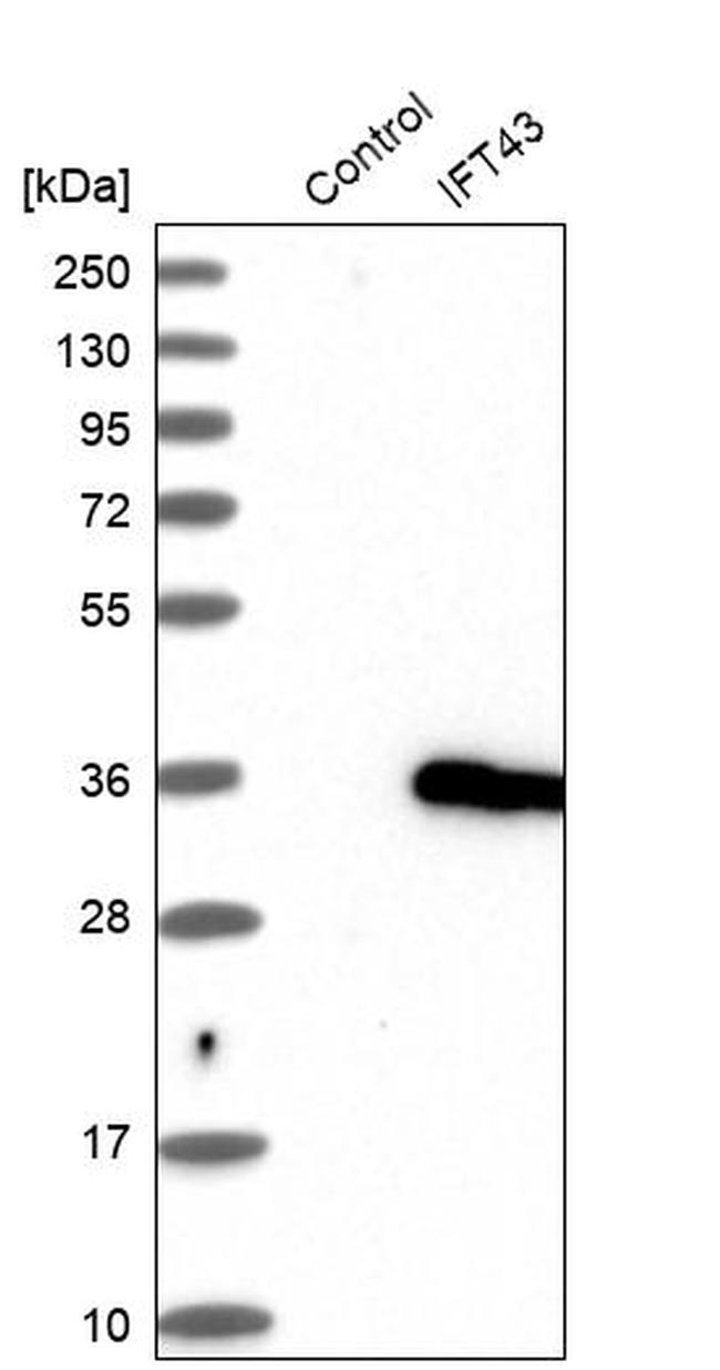 C14orf179 Antibody in Western Blot (WB)