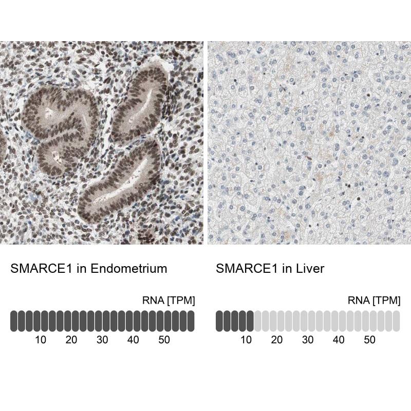 BAF57 Antibody in Relative expression