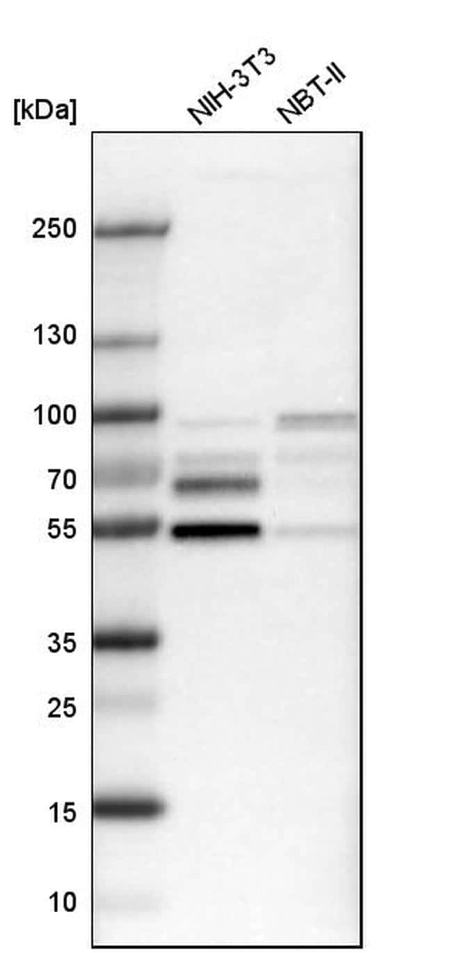 NFIB Antibody in Western Blot (WB)