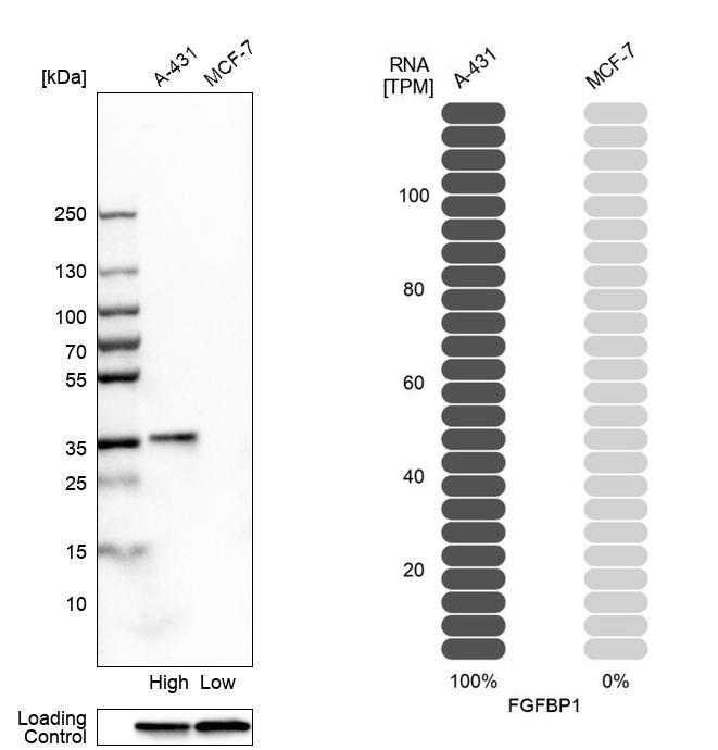 FGFBP1 Antibody in Relative expression