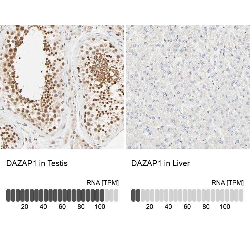 DAZAP1 Antibody in Relative expression