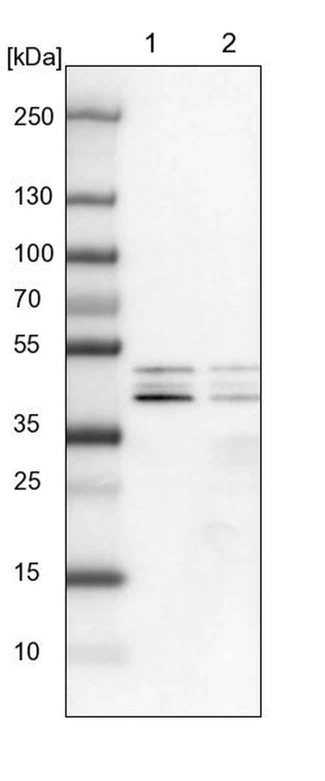 DAZAP1 Antibody in Western Blot (WB)