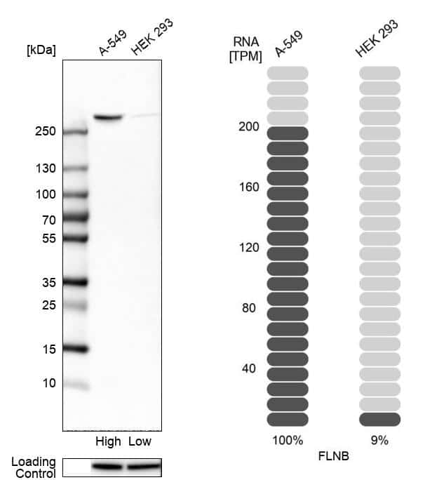 Filamin B Antibody in Relative expression