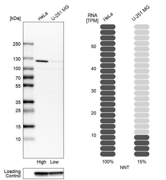 NNT Antibody in Relative expression