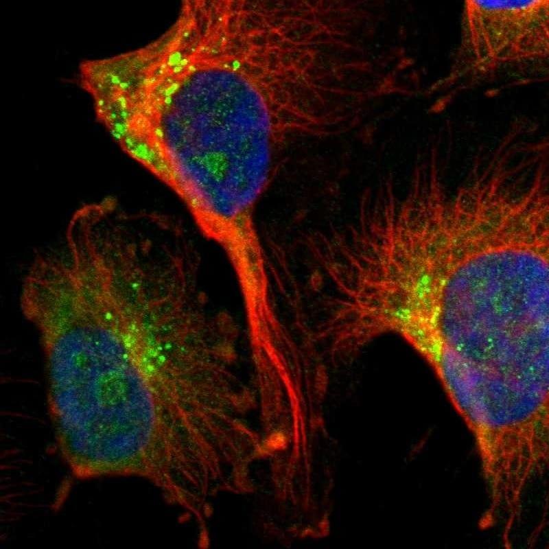 DIAPH2 Antibody in Immunofluorescence (IF)